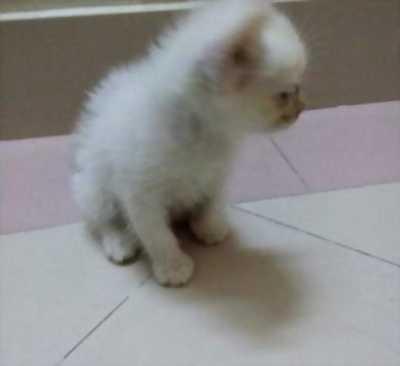 Cần bán 3 bé mèo ALD hai tháng tuổi