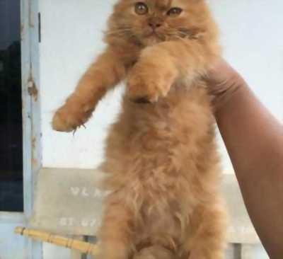 Cần bán bé mèo ALD đực 3 tháng