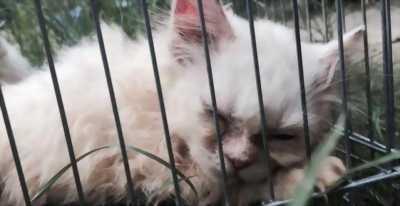 Bán mèo Ald lai 34