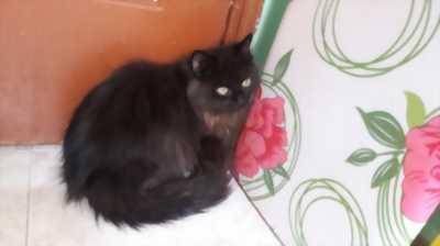 Bán mèo ALD lai 34 đực giá rẻ