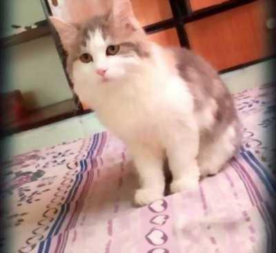 Cần bán mèo Anh lông dài