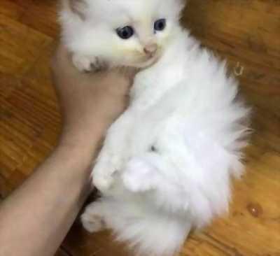 Cần bán mèo ALD trắng
