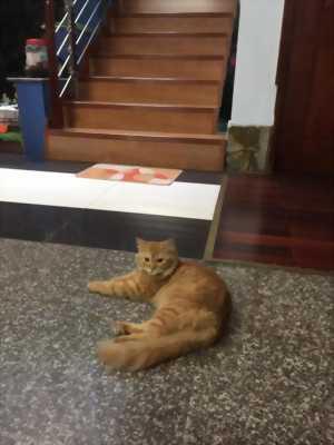 Tìm chủ cho bé mèo ALD rất hiền và quấn chủ
