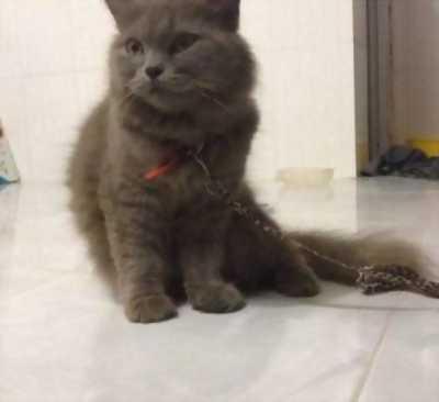 Bán mèo ALD cái trưởng thành