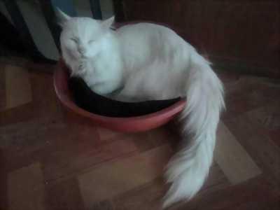 Bán mèo Anh lông dài trắng toàn thân
