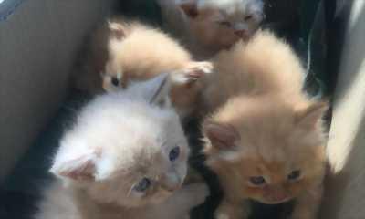 Tìm chủ mới cho 4 bé mèo Anh Lông Dài