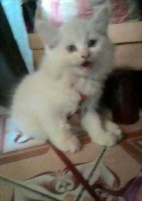 Bán mèo Anh