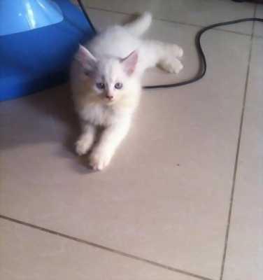Bán mèo Anh lai Nga