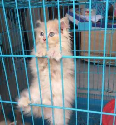 Bán mèo Anh lông siêu xù