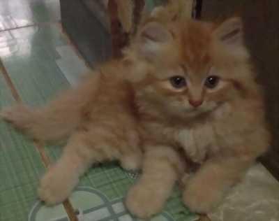 Mèo ALD thuần chủng ba tháng tuổi