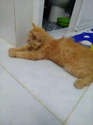 Bán mèo ALD thuần chủng