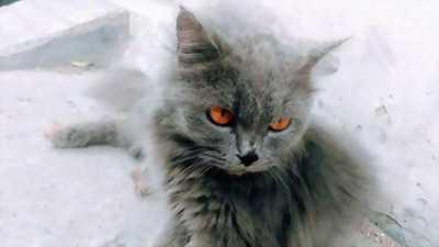 Cần bán 3 bé mèo Tây thuần chủng đã trưởng thành