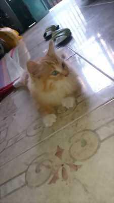 Bán bé mèo ALD thuần chủng