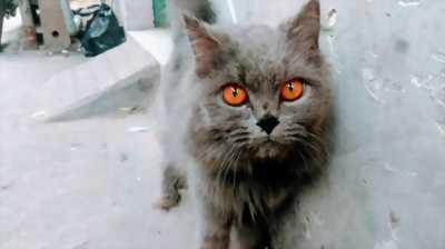 Bán mèo ALD silver blue cái trưởng thành