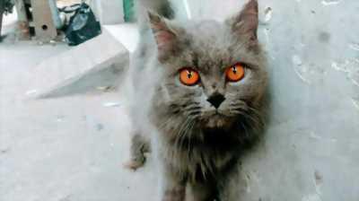 Tìm chủ mới cho bé mèo ALD silver blue cái trưởng . . .