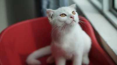 Cần bán mèo ALD lai Scottish tai cụp siêu cưng