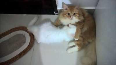 Tìm chủ mới 2 bé mèo ALD