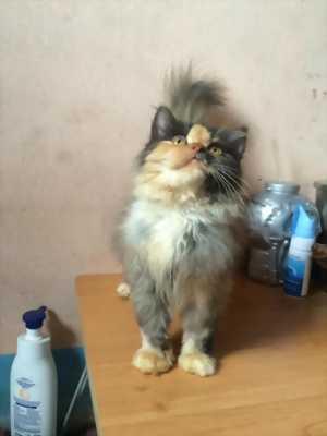 Bán mèo ALD tam thể 3 tháng