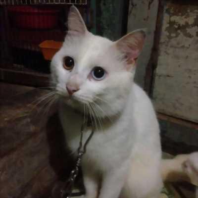 Bán mèo Anh lông dài con