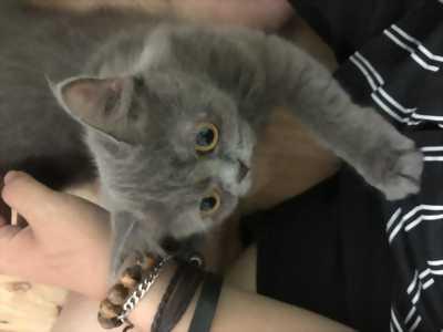 Tìm chủ mèo Anh Lông Dài ở TPHCM
