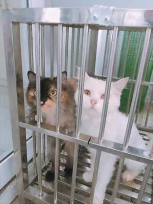 Cần bán 1 cặp mèo anh lông dài ( Đực và Cái ) 4tr/ 1 cặp