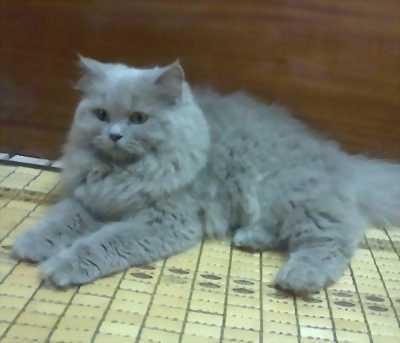 Cần nhượng lại bán mèo Anh thuần chủng deal tốt