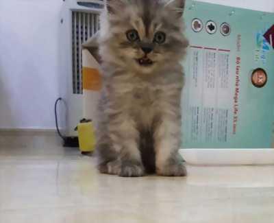 Cần bán Mèo Ba Tư lai ALD cực xinh giá tốt