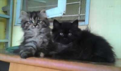 Cần nhượng lại 2 bé mèo Anh lông dài trưởng thành deal tốt