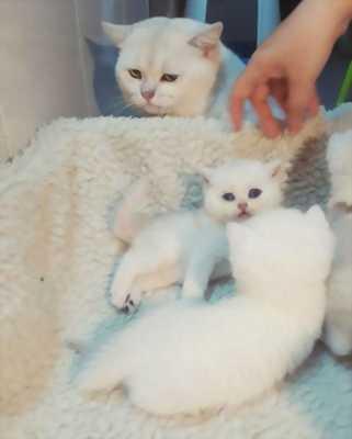 Bán mèo Anh ALN màu trắng thuần chủng