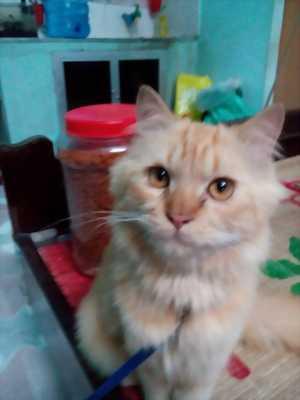 Cần bán mèo Anh lông dài đực