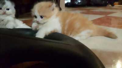 Mèo Anh lông dài mắt 2 màu
