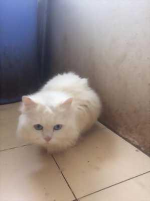 Mèo Anh lông dài đực trưởng thành
