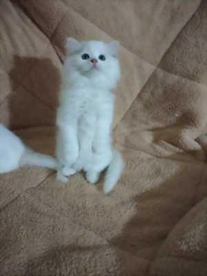 Mèo anh lông dài tai cụp lửng