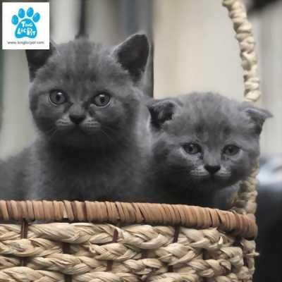Chào bán đàn mèo anh lông ngắn màu xám xanh tháng 6/2018