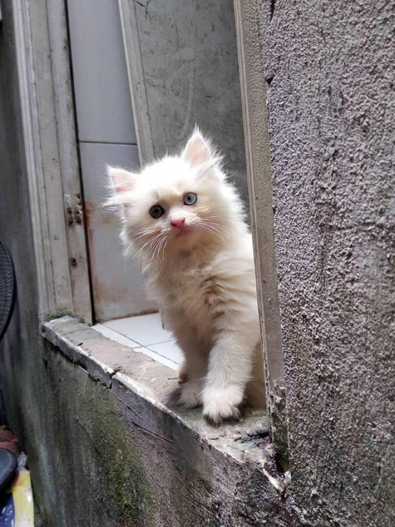 Mèo ANH lông dài 2 mắt 2 màu