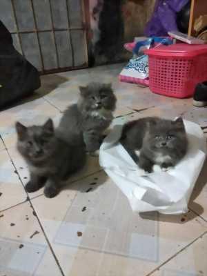 Mèo Anh lông ngắn và mèo anh lông dài màu bicolor
