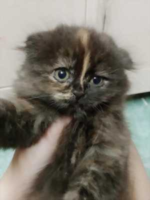 Mèo ald cái tai cụp