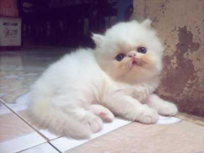 Cần nhượng lại bé mèo Ba Tư giá hữu nghị cho mọi người, sẽ có fix nên lh thoải mái.