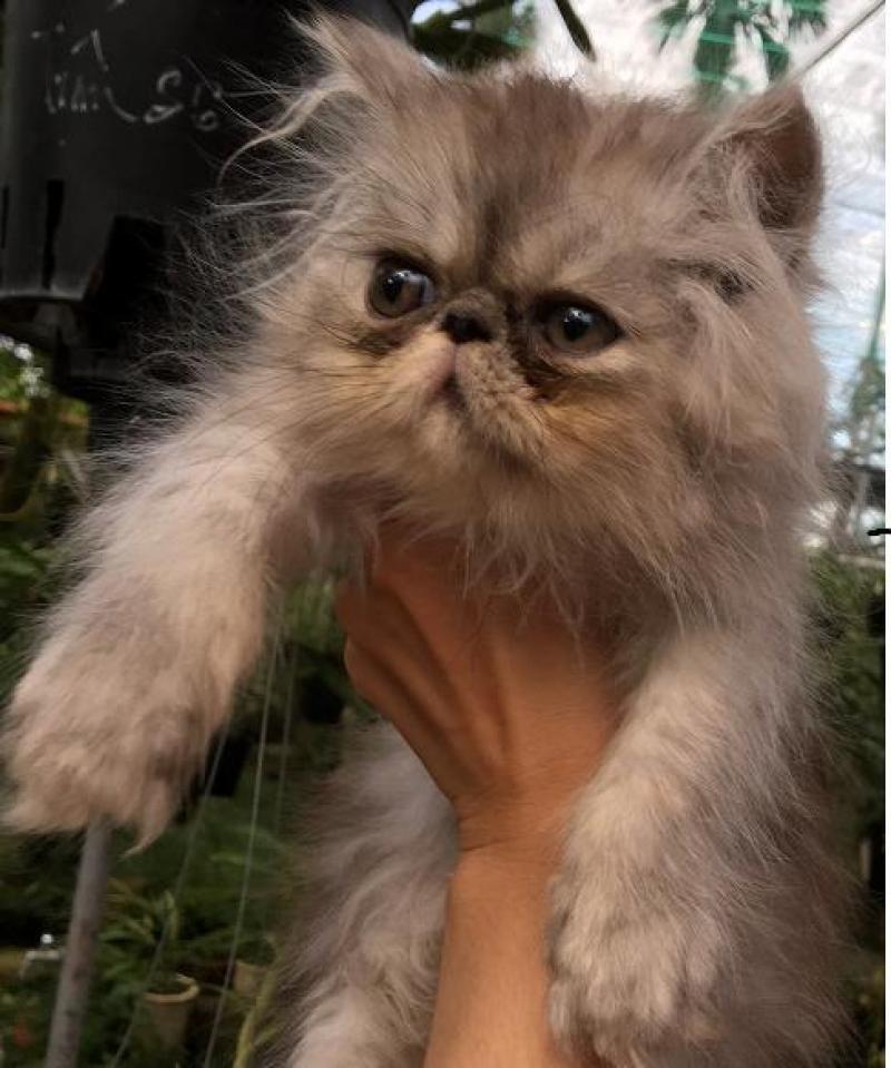 Mèo Ba Tư Thuần Chủng