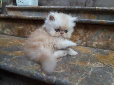 Cần bán mèo Ba Tư thuần chủng đẹp giá rẻ