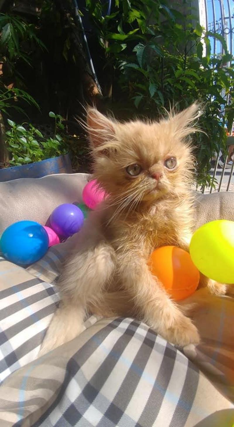 Mèo ba tư 3 thjáng tuổi