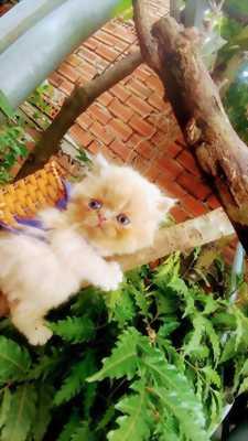 Mèo Ba tư mặt tịt màu phấn hồng
