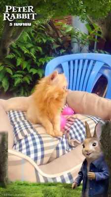 Bé gái mèo Ba tư màu phấn hồng