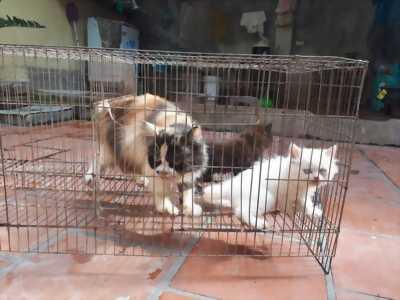 Tìm nhà mới cho 2 em mèo ba tư tại Thanh Trì,2 tháng tuổi