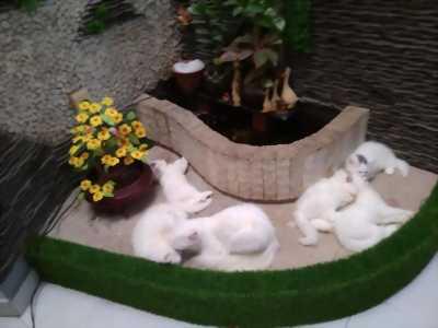 Bán mèo con Batư