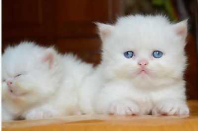 Bán em mèo Ba Tư lông trắng mắt xanh