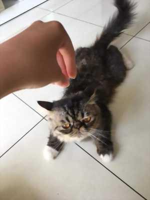 Mèo ba tư mặt tịt tphcm (đực chưa thiến)