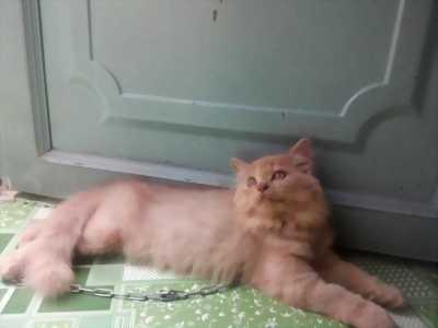 Mèo ald x batu màu hồng phấn tìm chủ tốt