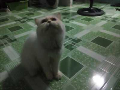 Bán mèo ba tư lông trắng rất đẹp.