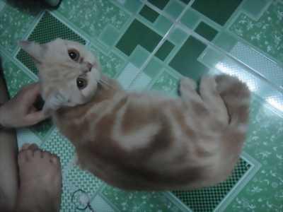 Mèo exotic  tìm chủ yêu thương
